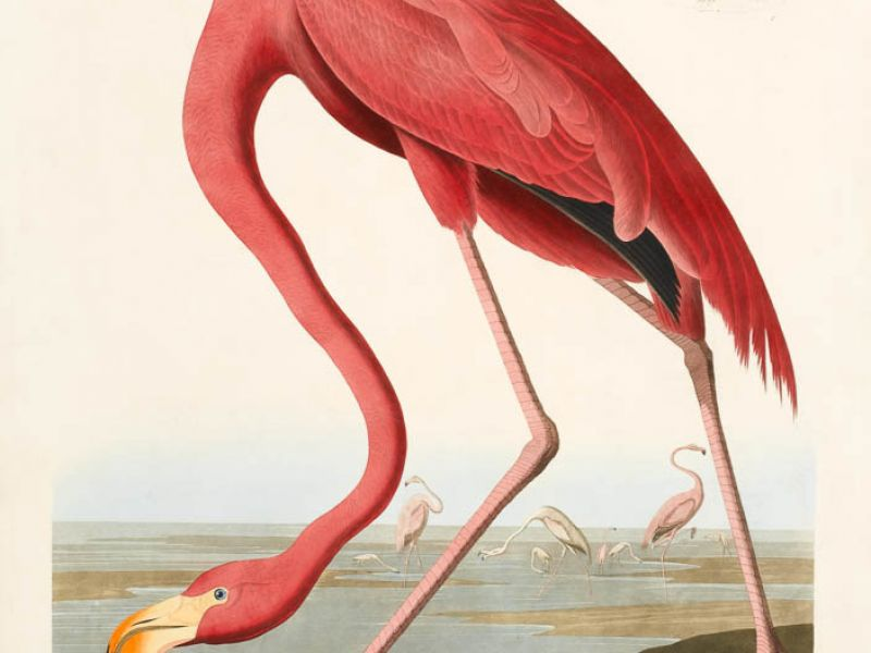 American Flamingo (Plate 431) from <em>Birds of America</em>