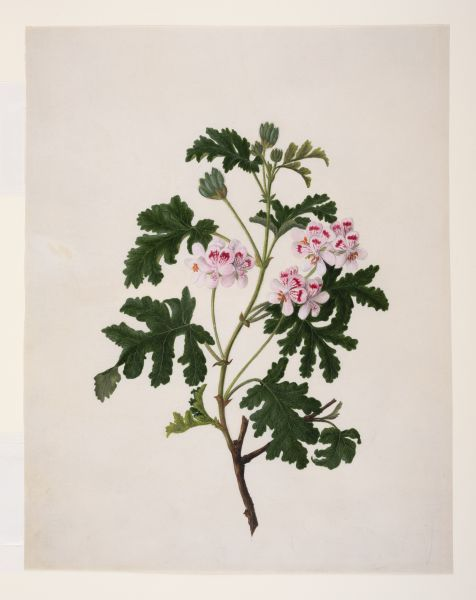 Lemon scented Pelargonium