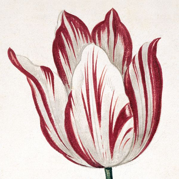 Featured image for the project: Tulipomania